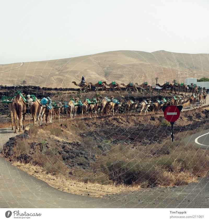 Die Karawane zieht weiter... Tiergruppe Herde laufen Kamel Dromedar Kameltreiber Kamelhöcker Lanzarote Karavane Straße Stoppschild Hügel Wüste Wüstenpiste