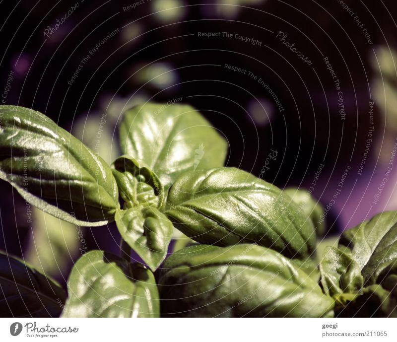 und dazu Büffelmozzarella und Tomaten ... Natur grün Sommer Pflanze schwarz Gesundheit frisch violett Kräuter & Gewürze lecker Duft Ernährung Grünpflanze