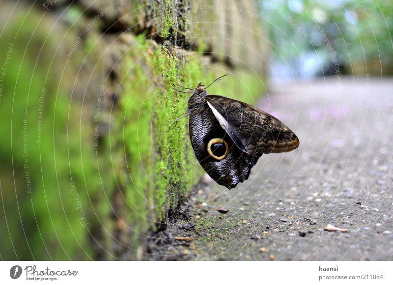 Bananenfalter Tier Flügel Schmetterling Moos Licht Mauerstein Steinmauer Fluginsekt Edelfalter