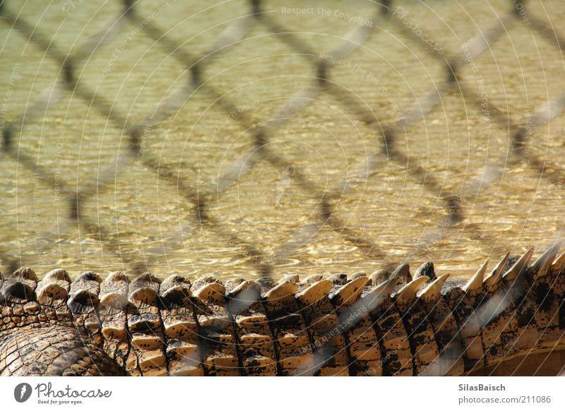Gefährliches Monster Wasser Moor Sumpf Tier Wildtier Zoo Krokodil Krokodilschwanz 1 Zaun Erholung außergewöhnlich bedrohlich gruselig stachelig Natur Farbfoto