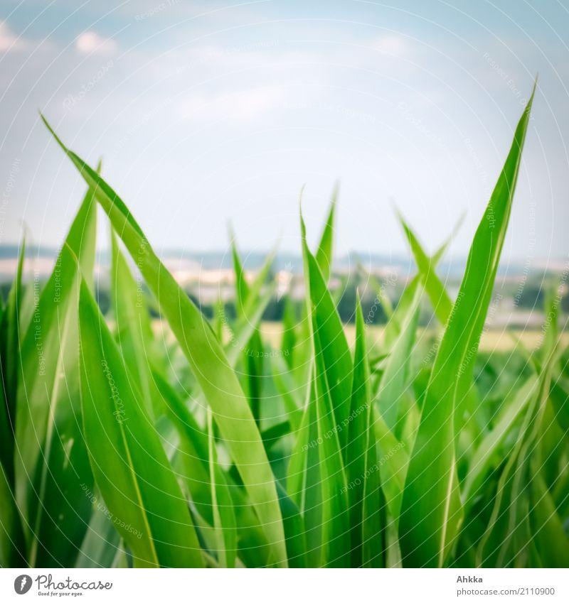 Maisspitzenfeld über dem Weimarer Land Landwirtschaft Forstwirtschaft Natur Landschaft Sommer Pflanze Nutzpflanze Maispflanzen Maisblatt Maisfeld Feld