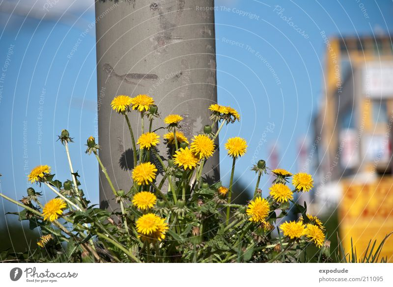 Die Hundeblumen Natur Himmel Blume Stadt grün blau Pflanze Sommer gelb Farbe Frühling grau Wachstum Lebensfreude Löwenzahn Säule