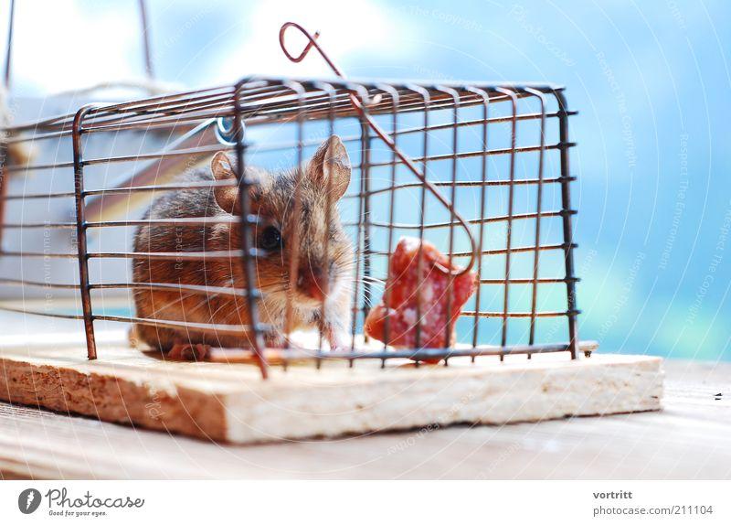 Mäusehotel Wurstwaren Natur Tier Wildtier Maus 1 füttern Jagd Armut Angst Mausefalle Speck Hacke Käfig Farbfoto Außenaufnahme Tierporträt Blick in die Kamera