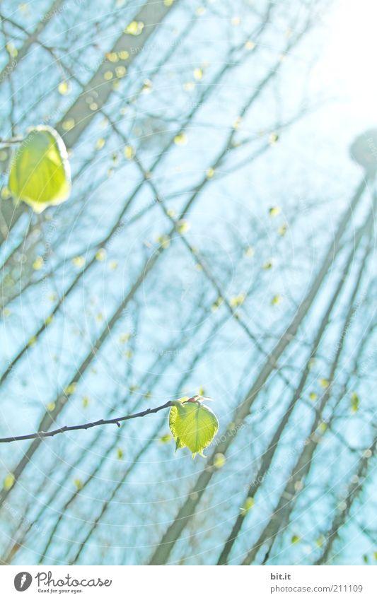 Von wegen Herbst Umwelt Natur Pflanze Himmel Sonne Frühling Klima Klimawandel Baum Blatt Grünpflanze Wald hell blau Frühlingsgefühle Leichtigkeit Wachstum