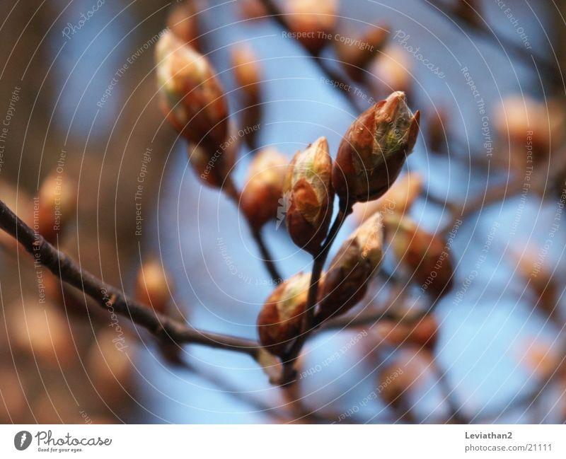 Aprilstimmung I Himmel Baum blau Pflanze Frühling Blütenknospen Blauer Himmel Buche