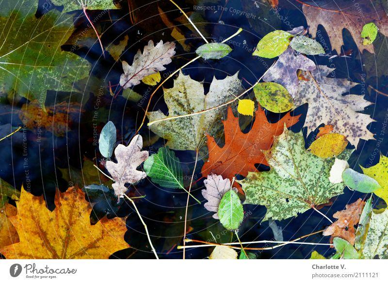 Blätterchaos Pflanze Herbst Blatt Ahornblatt Eichenblatt Buchenblatt Wasser leuchten dehydrieren ästhetisch einfach kaputt natürlich schön wild gelb grün orange