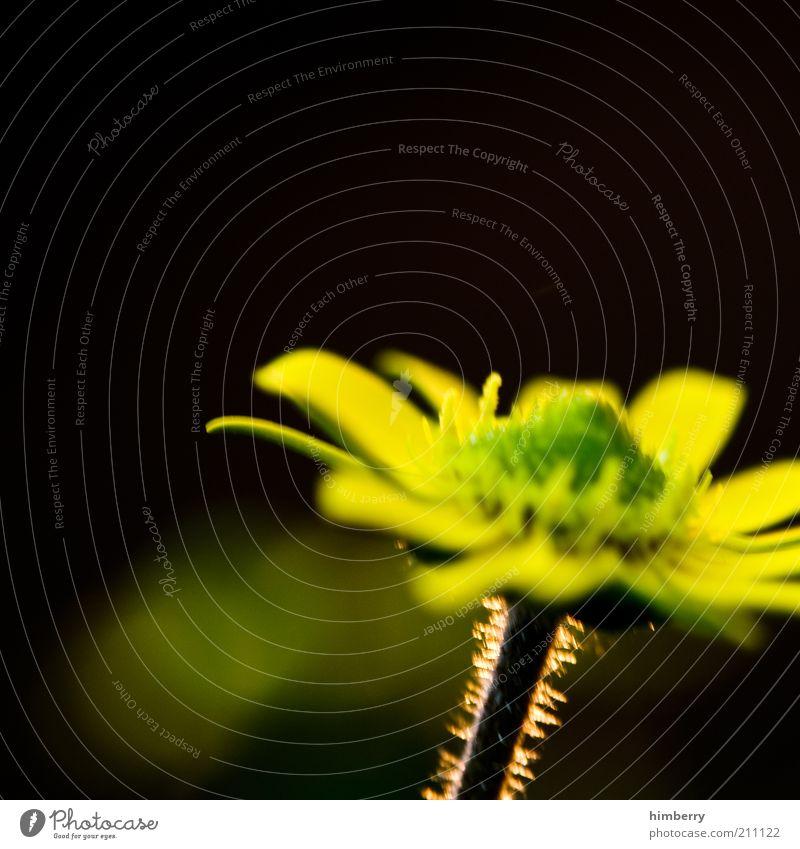 glow Natur Blume Pflanze Sommer gelb Gefühle Blüte Frühling Stimmung Umwelt geheimnisvoll Stengel Surrealismus Blütenblatt