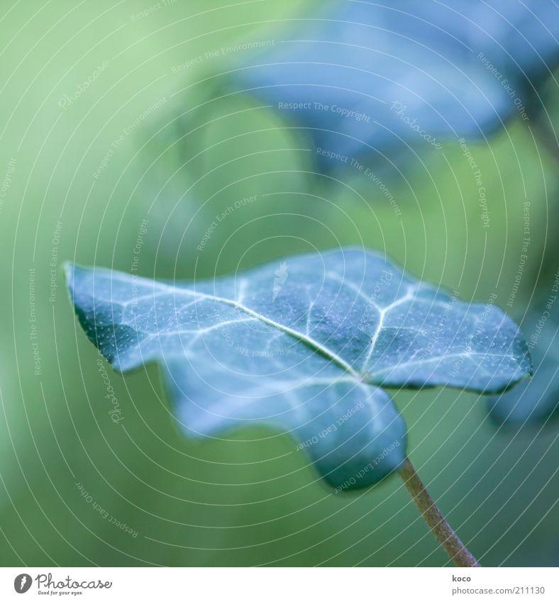 Efeu (Hedera helix) Natur Pflanze Blatt Grünpflanze Wachstum ästhetisch grün Farbfoto Makroaufnahme Tag Schwache Tiefenschärfe Außenaufnahme Menschenleer