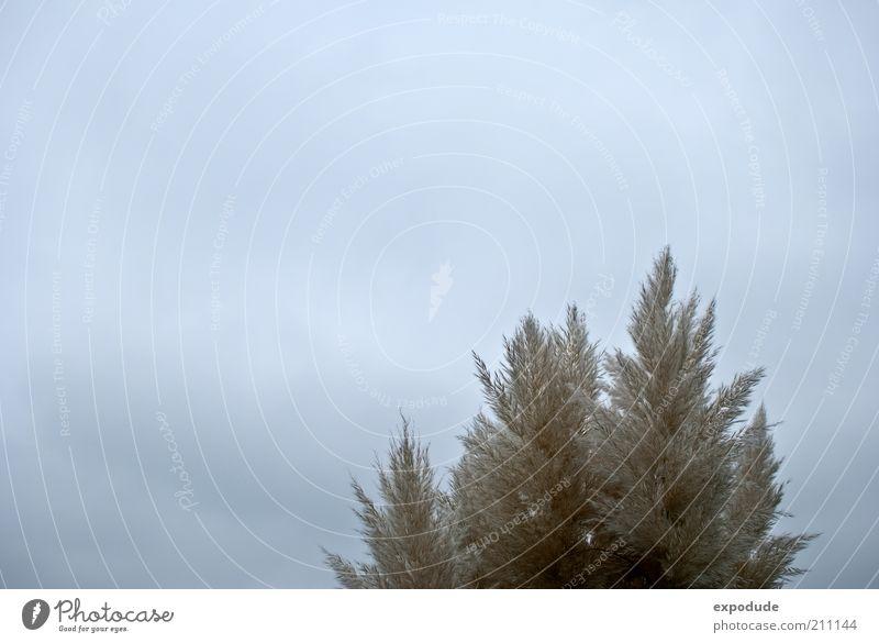 Schilf mit Himmel Natur Pflanze Umwelt Gras Luft ästhetisch Urelemente Nutzpflanze Wildpflanze Wolkendecke