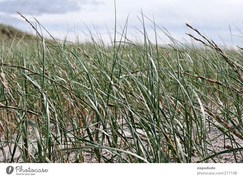 Strandgras Umwelt Natur Landschaft Pflanze Urelemente Erde Sand Schönes Wetter Gras Wildpflanze Küste Nordsee grün ästhetisch Erholung Farbfoto Gedeckte Farben