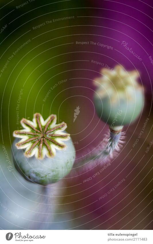 * Natur Pflanze Blume Garten Blumenstrauß verblüht natürlich Originalität schön stachelig trocken mehrfarbig violett Vergänglichkeit pflanzlich Pflanzenteile