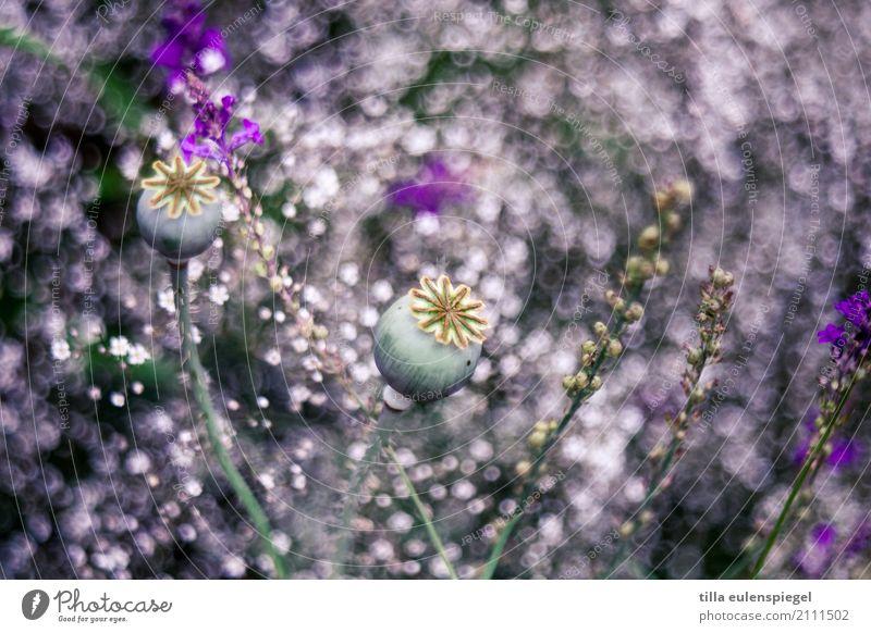 * Natur Pflanze Sommer Blume Gras Garten Blumenstrauß natürlich violett Idylle Kunst Umwelt Unschärfe pflanzlich Pflanzenteile Mohn Mohnkapsel Schleierkraut