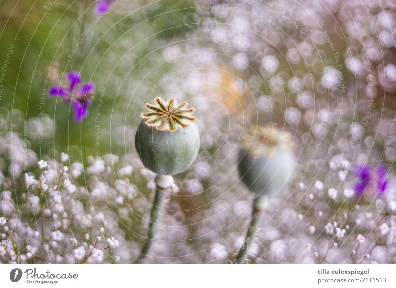 * Natur Pflanze Tier Blume Gras Blumenstrauß Blühend verblüht dehydrieren Duft natürlich schön wild Umwelt Vergänglichkeit Mohn Mohnkapsel Unschärfe