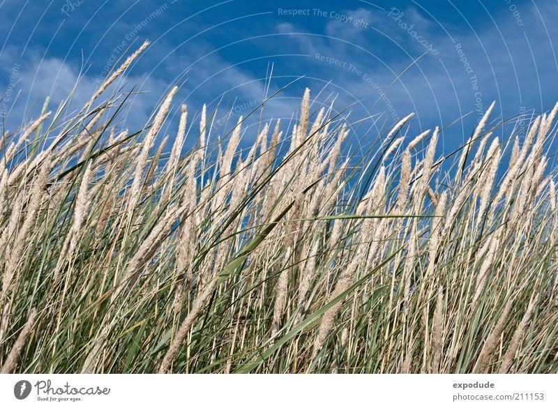 Blühendes Strandgras Umwelt Natur Landschaft Pflanze Urelemente Erde Luft Himmel Sommer Schönes Wetter Gras Wildpflanze Küste Nordsee blau braun grün ästhetisch