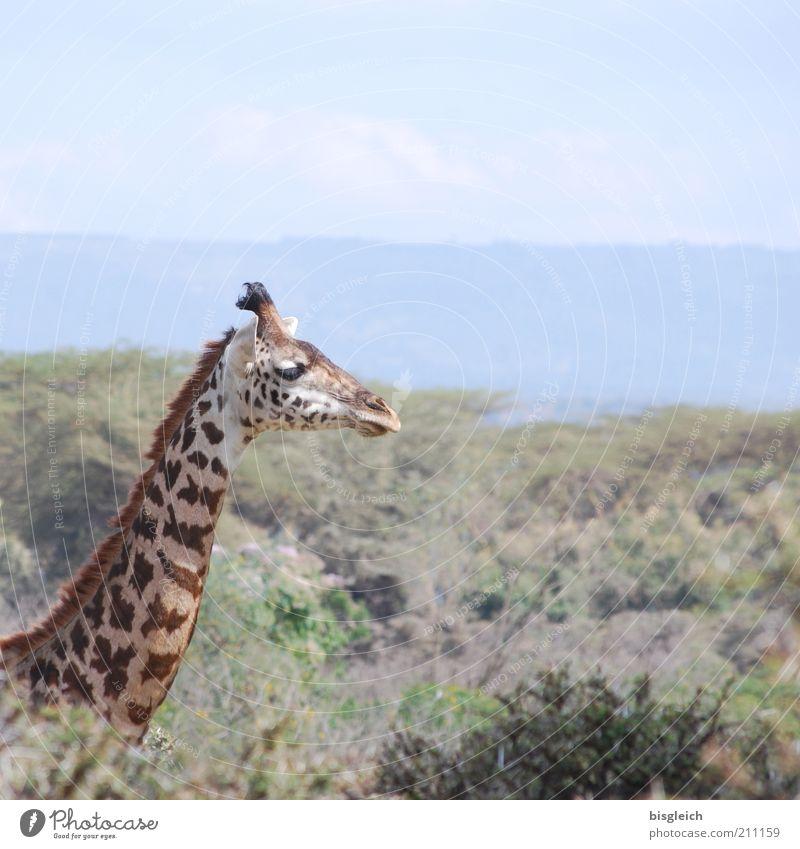 Giraffe Safari Wildtier 1 Tier frei braun gelb Zufriedenheit Afrika Farbfoto Gedeckte Farben Außenaufnahme Tierporträt Tiergesicht Hals Textfreiraum oben ruhig