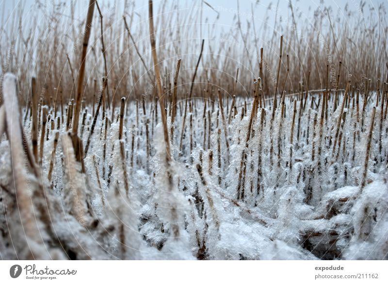 Winterschilf Natur weiß Pflanze kalt Gras Landschaft Eis braun Wetter Umwelt Frost Klima Stengel Schilfrohr Flussufer