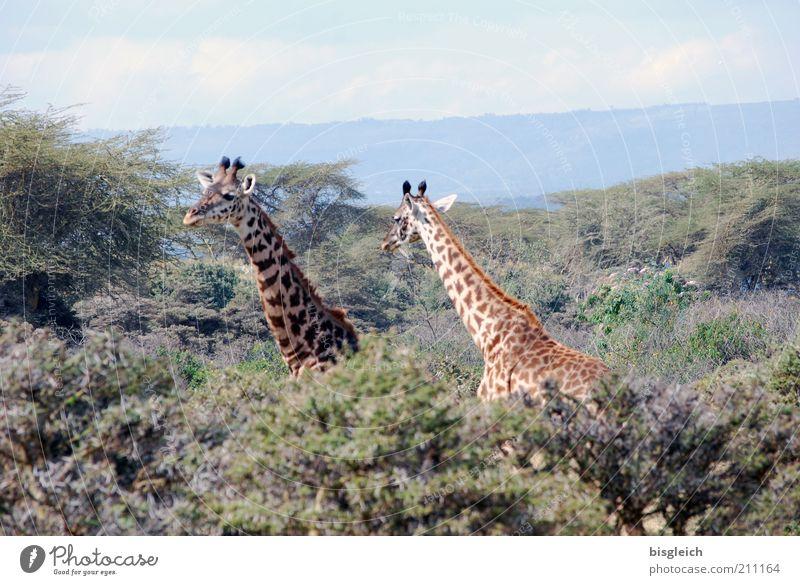 Giraffen Safari Natur Wald 2 Tier braun gelb grün Crscent Island Kenia Afrika Farbfoto Außenaufnahme Zentralperspektive Hals Tierpaar Tag