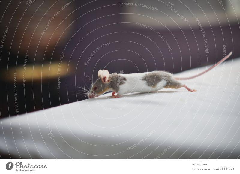 tischkantenmaus Maus Tier Haustier Nagetiere Säugetier klein winzig niedlich süß tierisch Ekel Am Rand Tischkante Vorsicht Neugier Blick entdecken erspähen