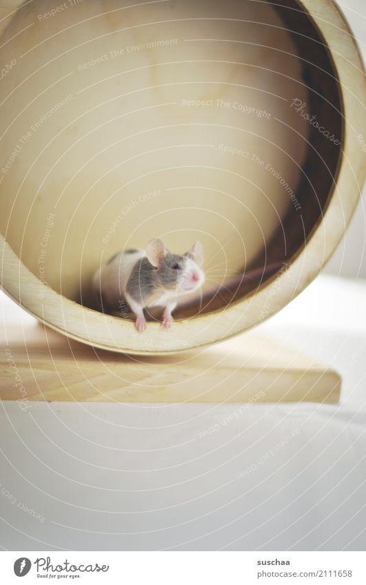 mäusesport Maus Tier Haustier Nagetiere Säugetier klein winzig niedlich süß Vorsicht Neugier Blick entdecken erspähen Angst Gesicht Laufrad Hamsterrad Sport
