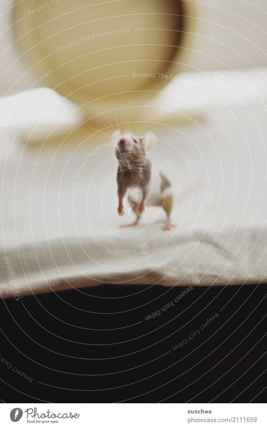 maus Maus Tier Haustier Nagetiere Säugetier klein winzig niedlich süß tierisch Ekel Am Rand Tischkante Vorsicht Neugier Blick entdecken erspähen Angst Gesicht