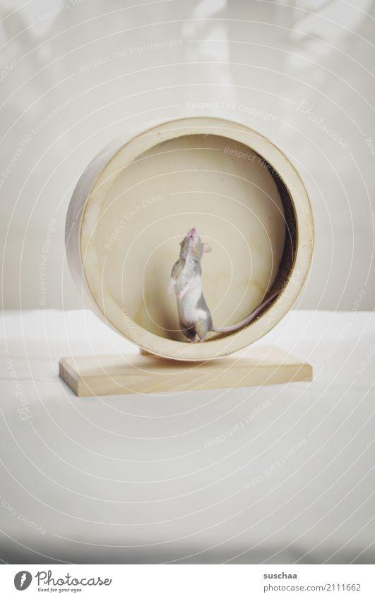 mäusesport Maus Tier Haustier Nagetiere Säugetier klein winzig niedlich süß Vorsicht Neugier Blick entdecken erspähen Geruch Angst Laufrad Hamsterrad Sport