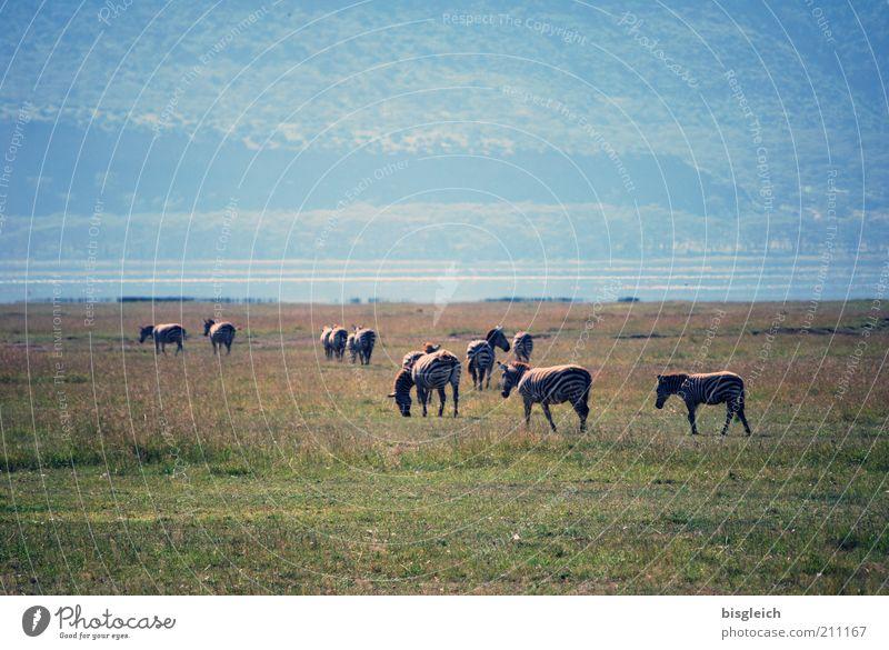 Zebras Natur grün Gras Wärme Afrika Wildtier Seeufer Schönes Wetter Fressen Herde Naturschutzgebiet Kenia