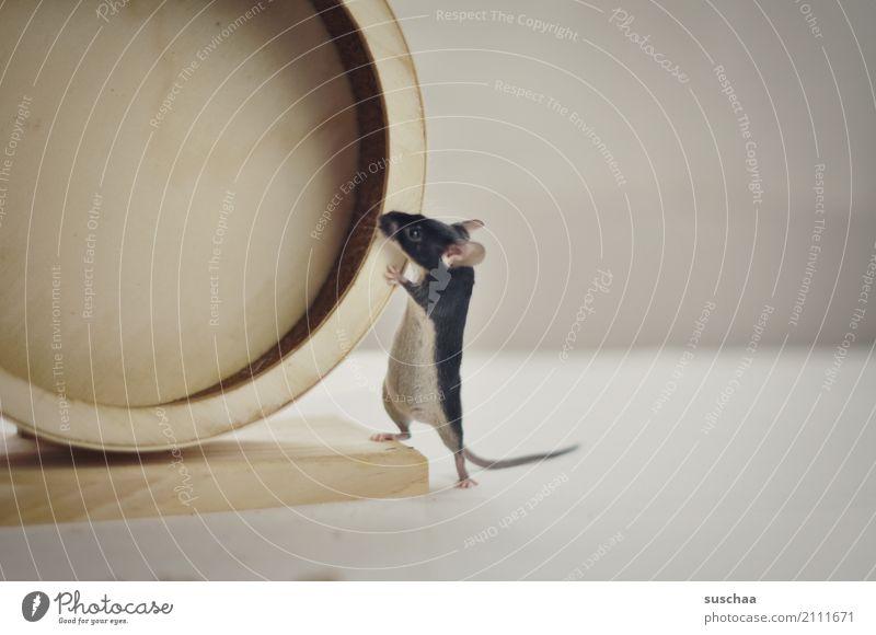 es dreht Maus Tier Haustier Nagetiere Säugetier klein winzig niedlich tierisch lustig süß Vorsicht Neugier Blick Angst Gesicht Laufrad Hamsterrad Sport