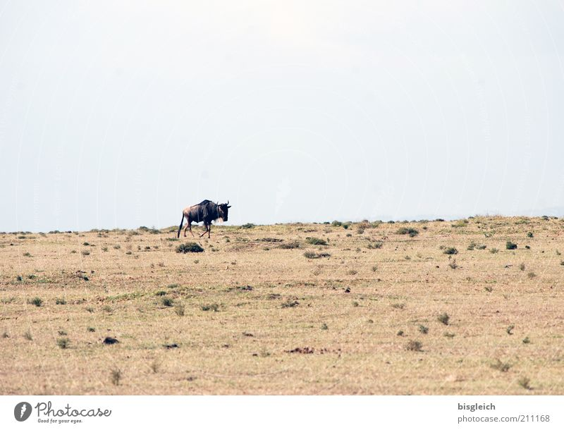 Gnu Safari Sand Himmel Steppe Wildtier 1 Tier braun Einsamkeit Crescent Island Kenia Afrika Farbfoto Gedeckte Farben Außenaufnahme Textfreiraum oben