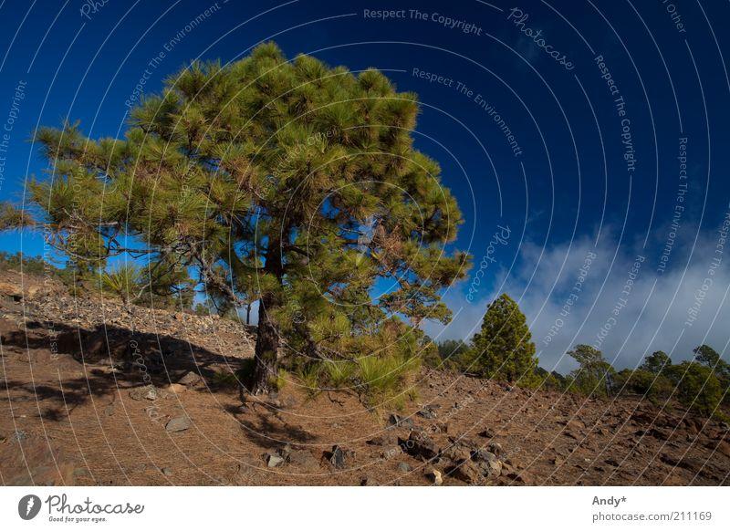 l'arbre qui cache la forêt Spanien Kanaren Teneriffa Natur Landschaft Pflanze Himmel Wolken Sonnenlicht Sommer Schönes Wetter Baum Teide Farbfoto