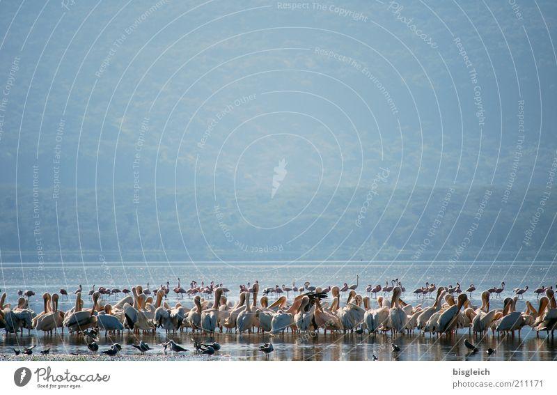 Pelikane Safari Natur Seeufer Lake Nakuru Wildtier Vogel Schwarm blau Kenia Afrika Farbfoto Gedeckte Farben Außenaufnahme Textfreiraum oben Menschenleer viele