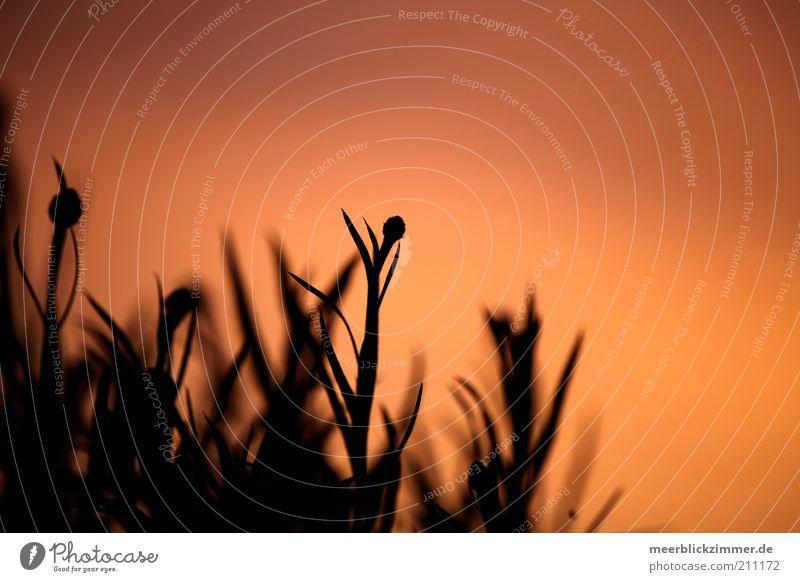 Abendrot Pflanze rot Gefühle Wärme Romantik weich Abenddämmerung Unschärfe