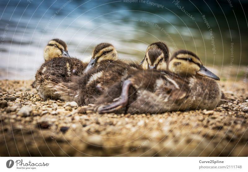 Baby-Dugs Natur Tier Wasser Vogel Tiergesicht 4 Schwarm Tierjunges Tierfamilie liegen Ente Kuscheln frieren See Seeufer schlafen Geschwister