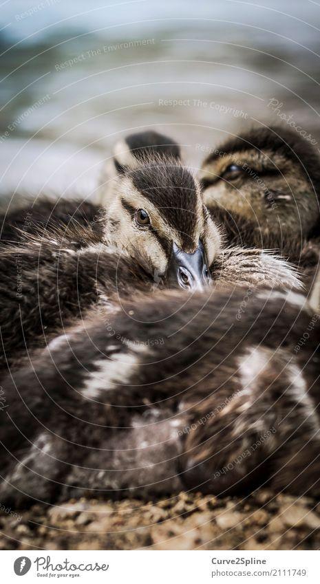 Baby-Dugs Natur Tier Vogel Tiergesicht Tiergruppe Schwarm Tierjunges Tierfamilie liegen Ente Federvieh Küken Kuscheln See Seeufer frieren Geschwister Farbfoto