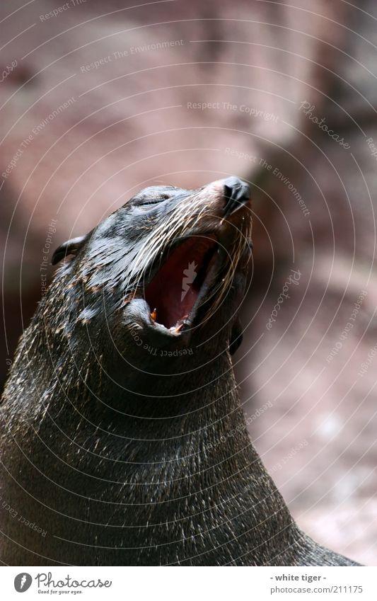 Morgenstund hat Gold im Mund Tier Tiergesicht Fell Zoo Robben 1 braun rot Müdigkeit Erschöpfung Trägheit Langeweile gähnen Farbfoto Außenaufnahme Menschenleer