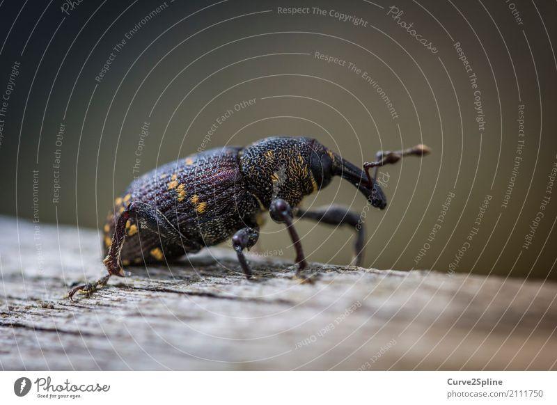 Rüsselkäfer Natur Tier Baum Käfer 1 gehen klein Insekt schwarz gelb gepunktet Holz Farbfoto Außenaufnahme Makroaufnahme Menschenleer Tag Unschärfe