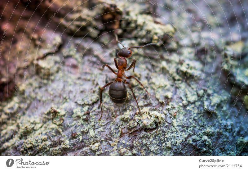 Ant Tier stark Ameise Insekt Arbeiter fleißig Natur Makroaufnahme stehen warten klein Wald Waldboden Waldtier Nahaufnahme Farbfoto Außenaufnahme Menschenleer