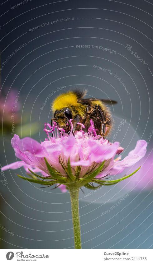 Bumblebee Natur Sommer Pflanze Blüte Tier Biene 1 Blühend Hummel ansammeln Insekt bestäuben Behaarung Makroaufnahme Fertilisation Held Flügel gelb gestreift