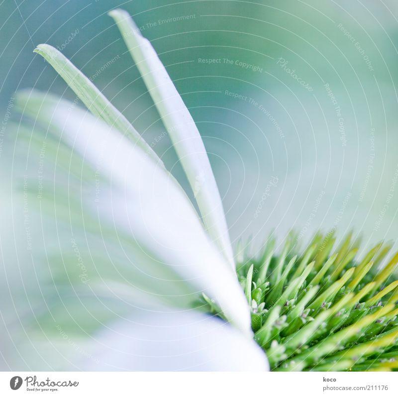 Flügelwesen schön weiß grün Pflanze Leben Blüte hell ästhetisch Blühend Duft harmonisch Bildausschnitt Blütenblatt Zeit Makroaufnahme