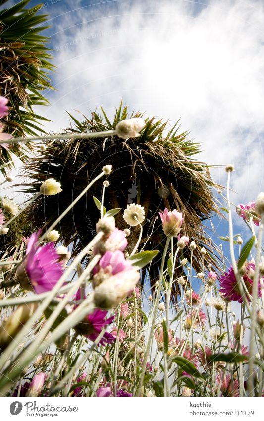 let´s twist Umwelt Natur Himmel Wolken Baum Blüte exotisch rosa Wiese Sommer Sonne Sträucher Blume Blumenfeld mehrfarbig violett Wachstum Palmenwedel Farbfoto