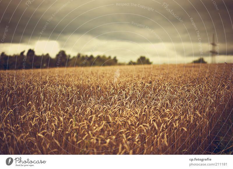 Wer Wind sät... Natur Pflanze Sommer Wolken Regen Feld Umwelt bedrohlich Klima Gewitter Ackerbau Kornfeld Klimawandel schlechtes Wetter Gewitterwolken Nutzpflanze
