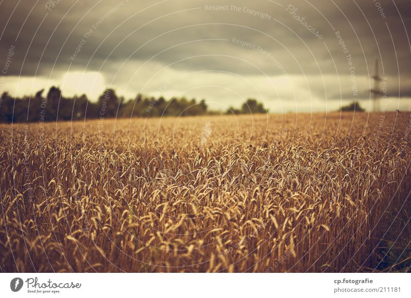 Wer Wind sät... Natur Pflanze Sommer Wolken Regen Feld Umwelt bedrohlich Klima Gewitter Ackerbau Kornfeld Klimawandel schlechtes Wetter Gewitterwolken
