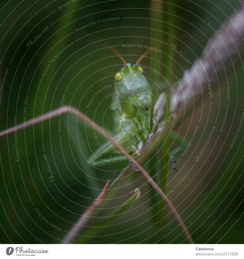 Ins Wochenende hüpfen Natur Pflanze Tier Sommer Gras Blüte Wiesengräser Heuschrecke Insekt 1 beobachten springen warten ästhetisch braun gold grün Interesse