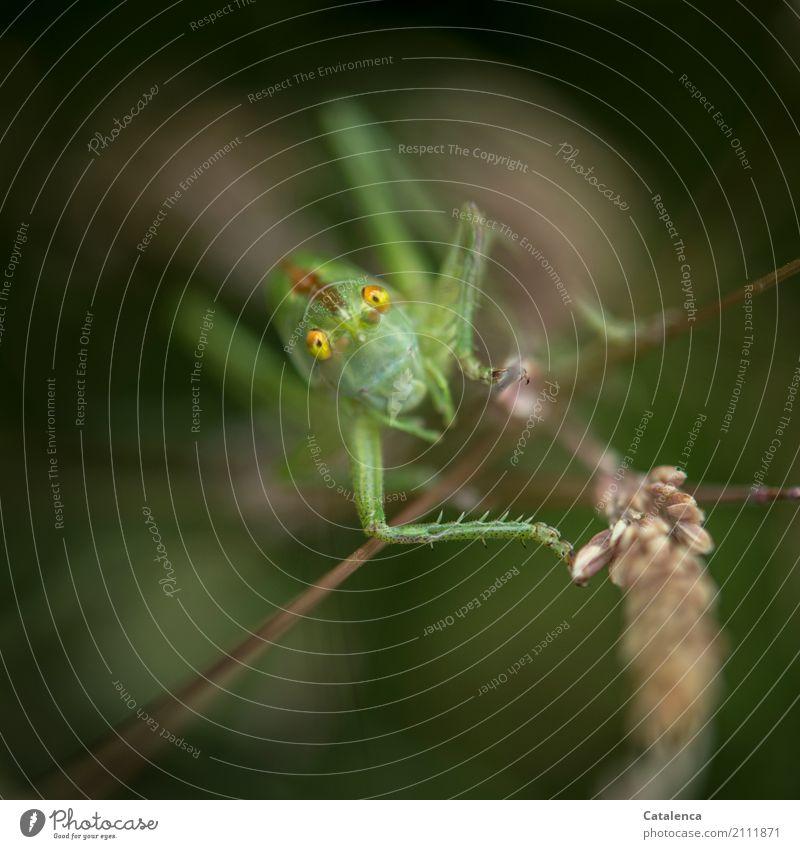 Auftauchen Natur Pflanze Tier Sommer Gras Blüte Gräserblüte Wiese Insekt Heuschrecke Heupferd 1 beobachten hocken springen elegant braun gelb grün schwarz