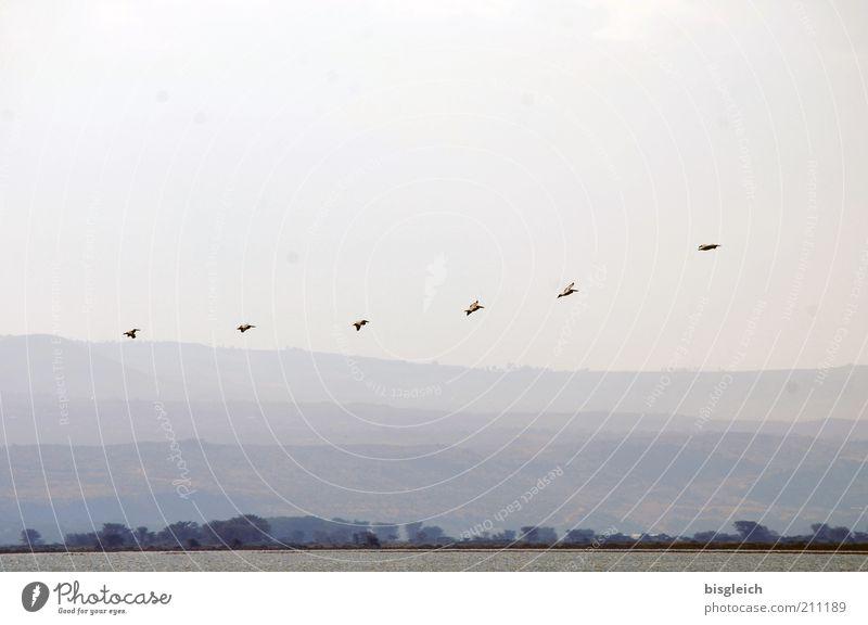 Pelikane II Safari Natur Landschaft See Wildtier Schwarm fliegen Sehnsucht Crscent Island Kenia Afrika Farbfoto Außenaufnahme Textfreiraum oben