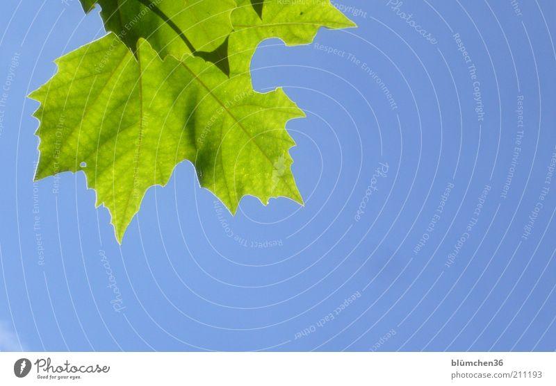 Das Blatt Stil Sommer Pflanze Wolkenloser Himmel hängen träumen Wachstum außergewöhnlich Gesundheit hoch natürlich blau grün Leben Stimmung Umwelt
