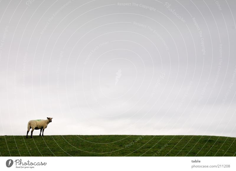 Gertrud Freiheit Umwelt Natur Landschaft Tier Himmel Horizont schlechtes Wetter Wiese Weide Nutztier Schaf 1 beobachten Blick stehen grau grün ruhig Einsamkeit