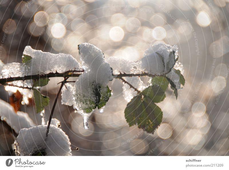 Kleine Abkühlung... Pflanze Winter Eis Frost Schnee Sträucher Rose Blatt Grünpflanze frisch glänzend kalt ruhig tauen Außenaufnahme Licht Reflexion & Spiegelung