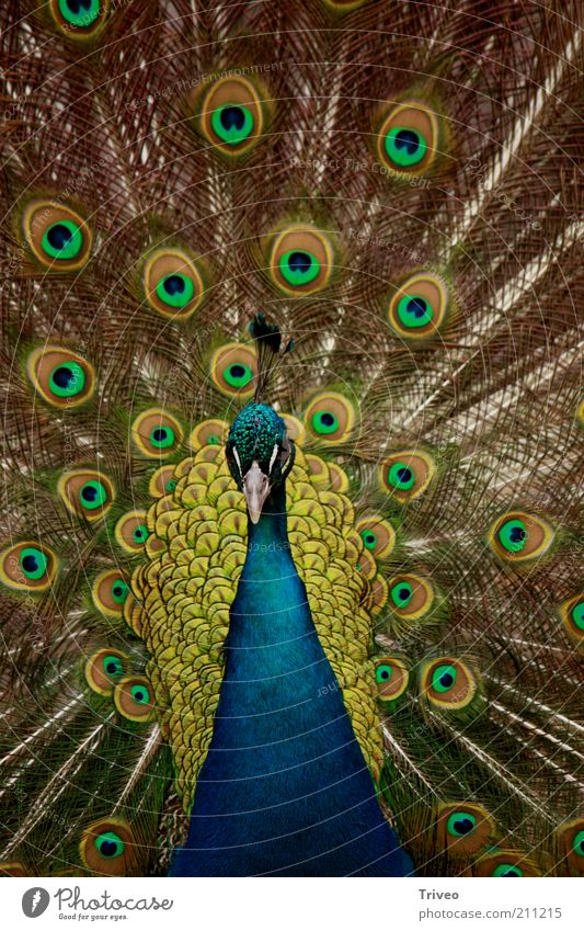 Vogel Pfau Natur blau grün schön Tier gelb Kraft elegant gold ästhetisch maskulin Coolness Feder Romantik Zoo Partnerschaft