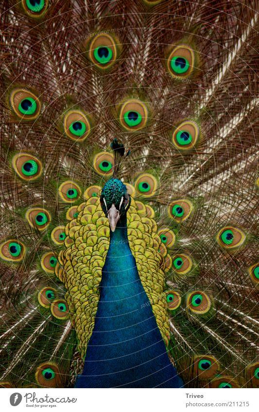 Vogel Pfau Tier Zoo 1 Brunft blau gelb gold grün selbstbewußt Coolness Kraft Romantik schön Begierde betrügen Stolz eitel ästhetisch Partnerschaft elegant