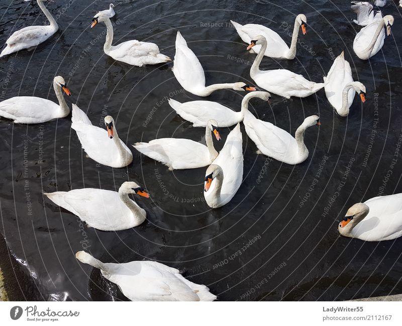 Gruppe der Schwäne elegant schön Menschengruppe Natur Landschaft Tier Teich See Vogel Schwan wild weiß aquatisch Hintergrund Schnabel Beautyfotografie Feder